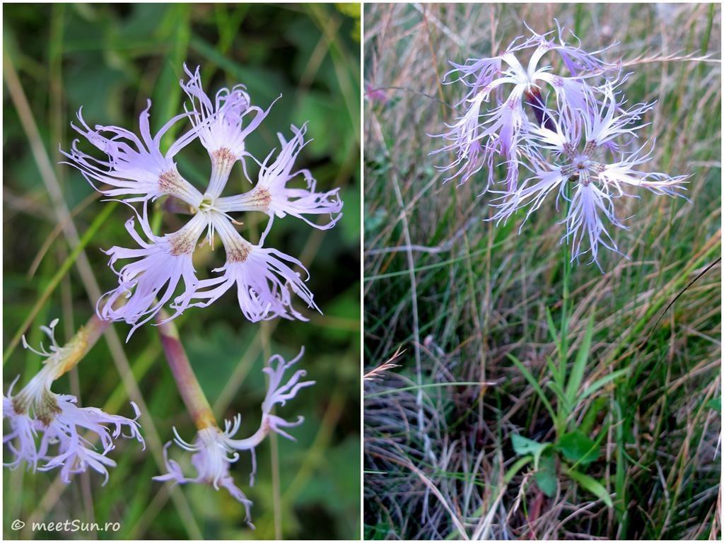 flori-mov-061-dianthus