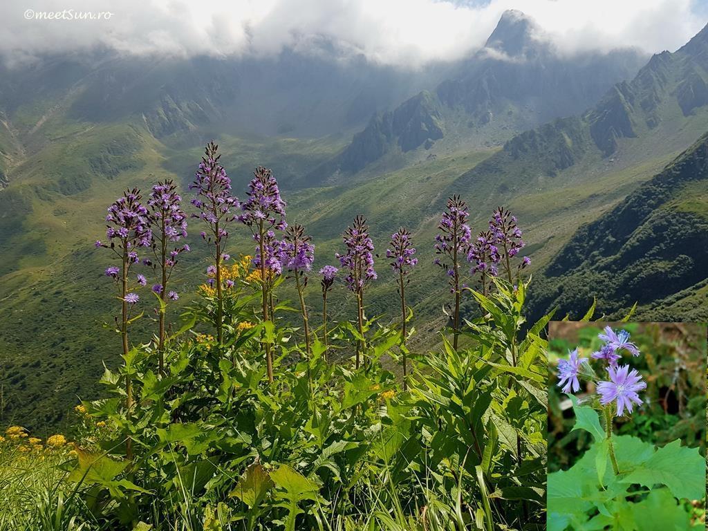flori-mov-066-cicerbita-alpina