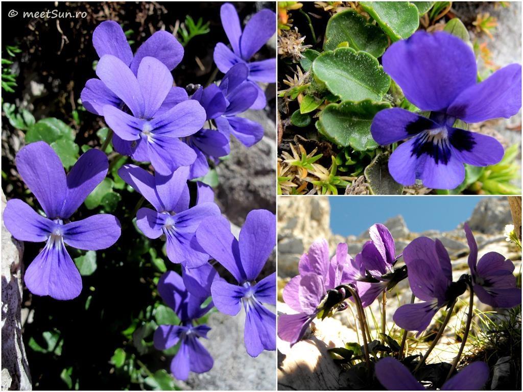 flori-mov-073-viola