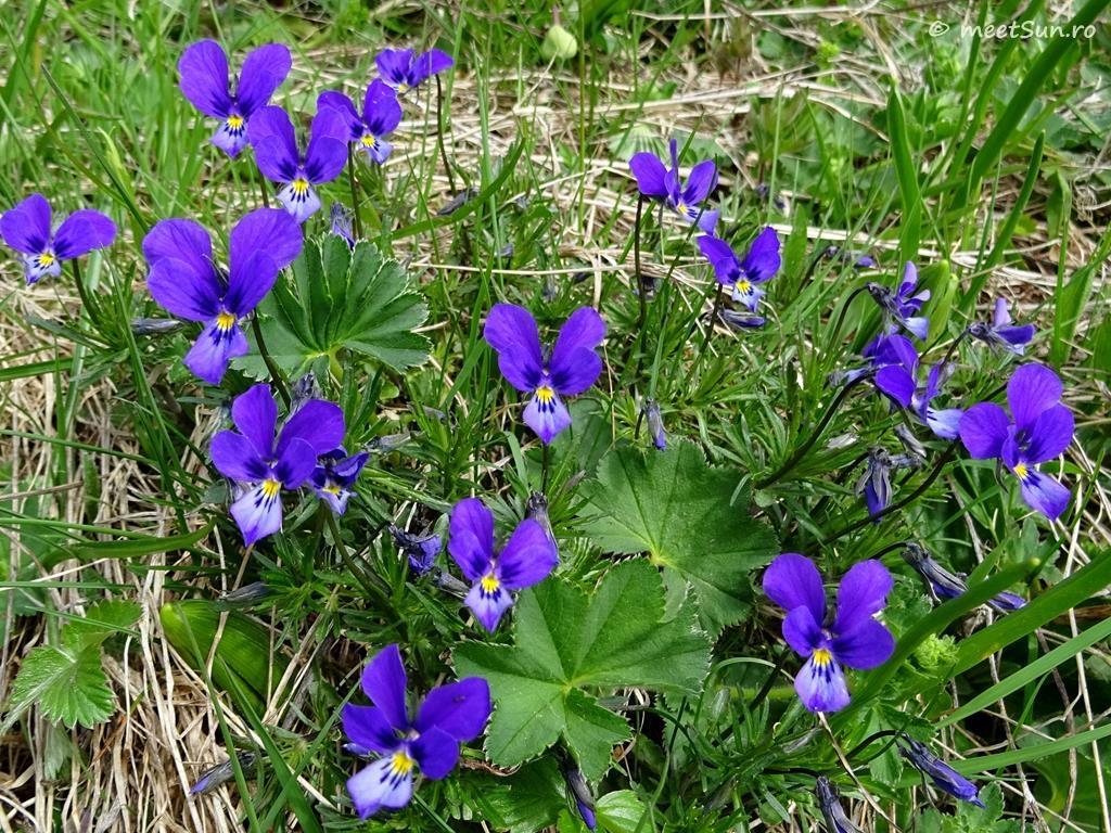flori-mov-076-viola