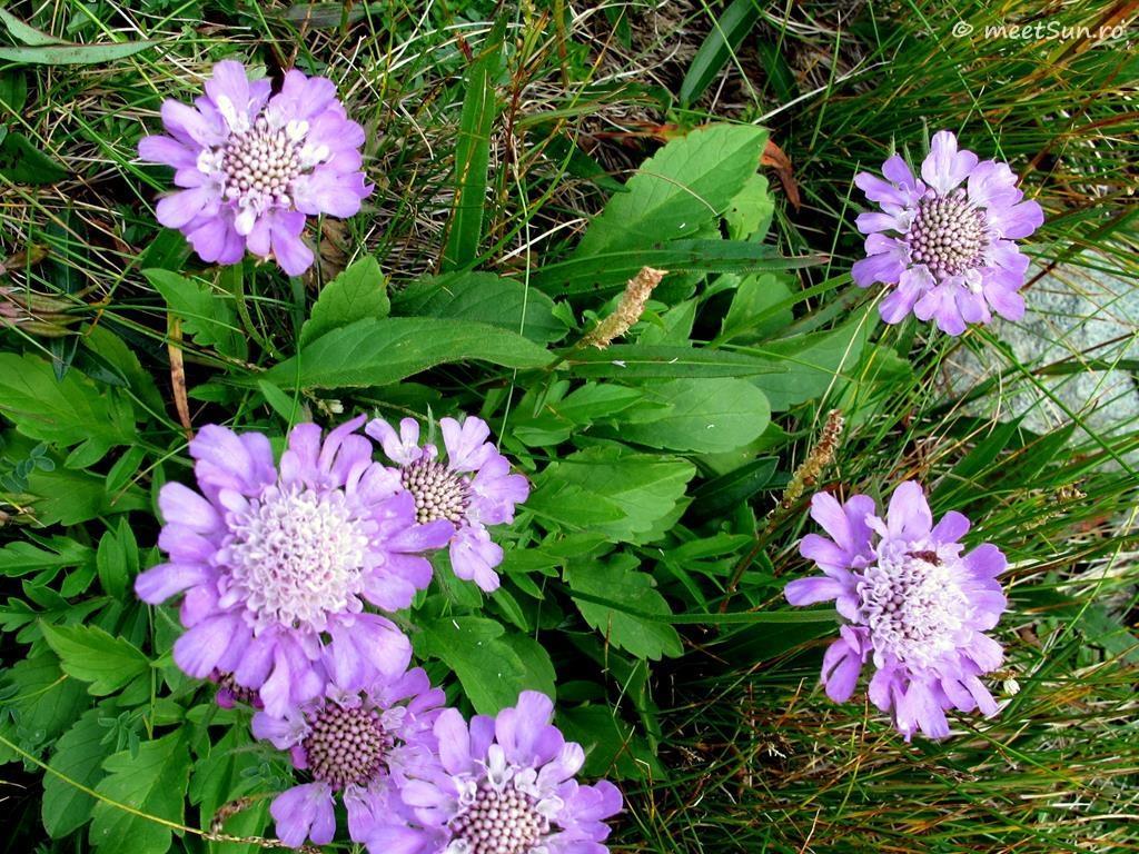 flori-mov-080-scabiosa-lucida