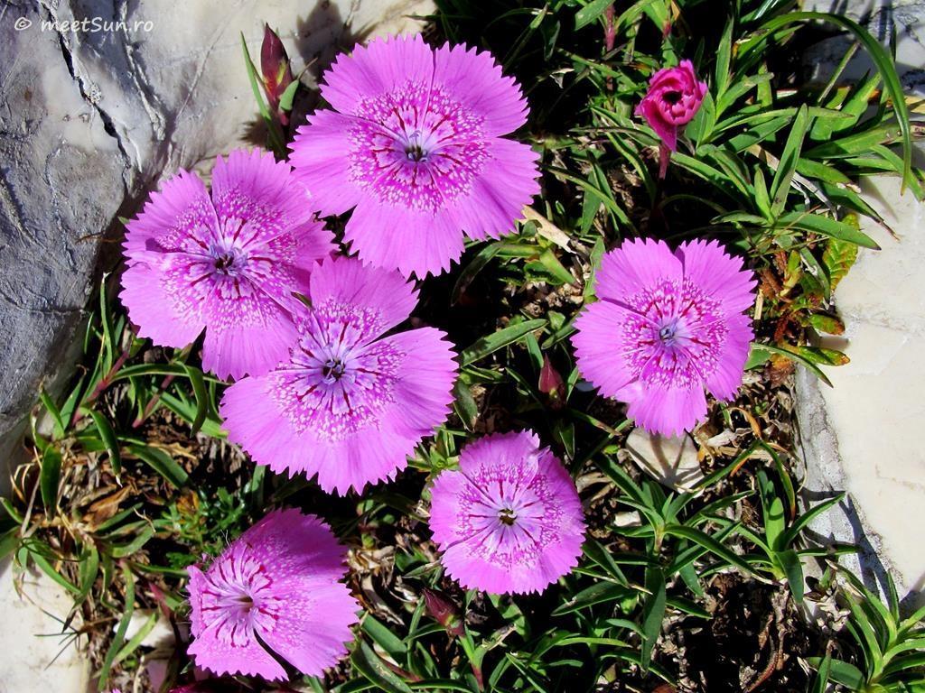 flori-roz-001-Dianthus-callizonus