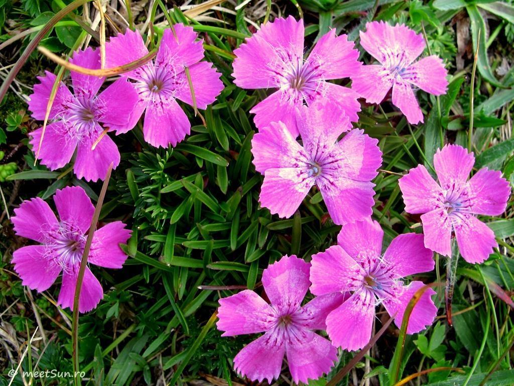 flori-roz-002-Dianthus