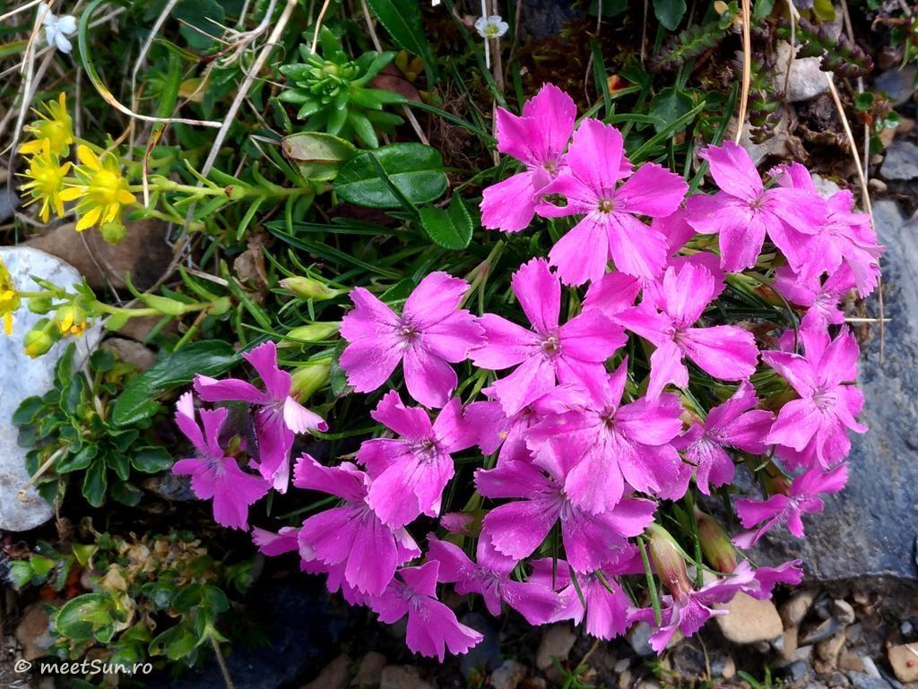 flori-roz-003-Dianthus-glacialis