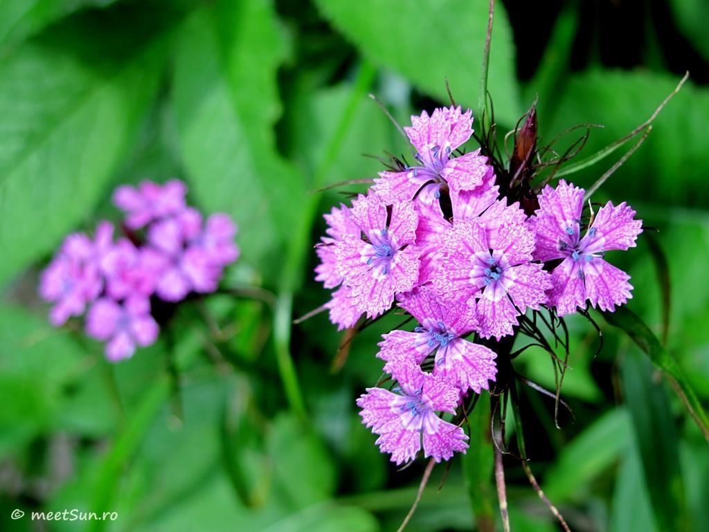 flori-roz-004-Dianthus