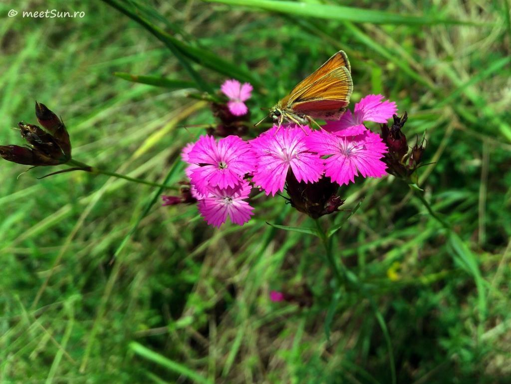 flori-roz-005-Dianthus