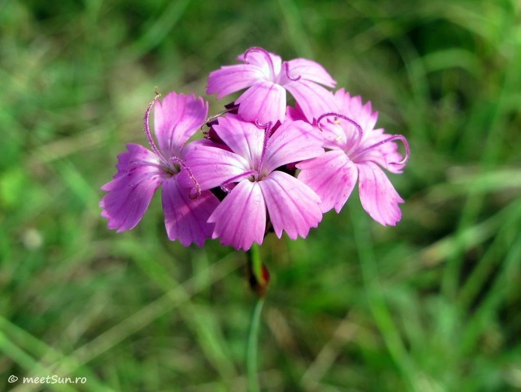 flori-roz-006-Dianthus