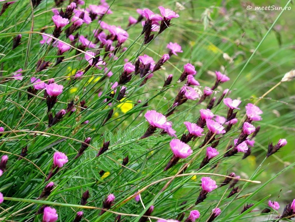 flori-roz-007-Dianthus