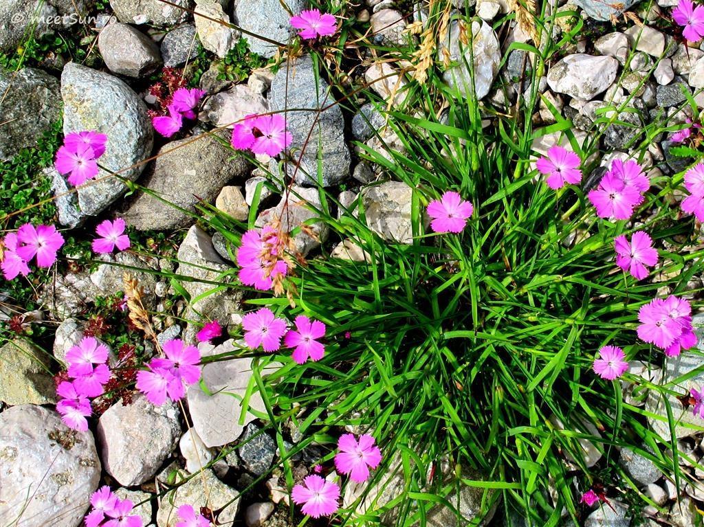 flori-roz-008-Dianthus