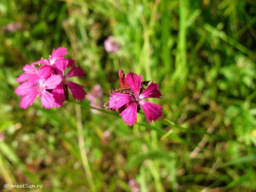 flori-roz-009-Dianthus