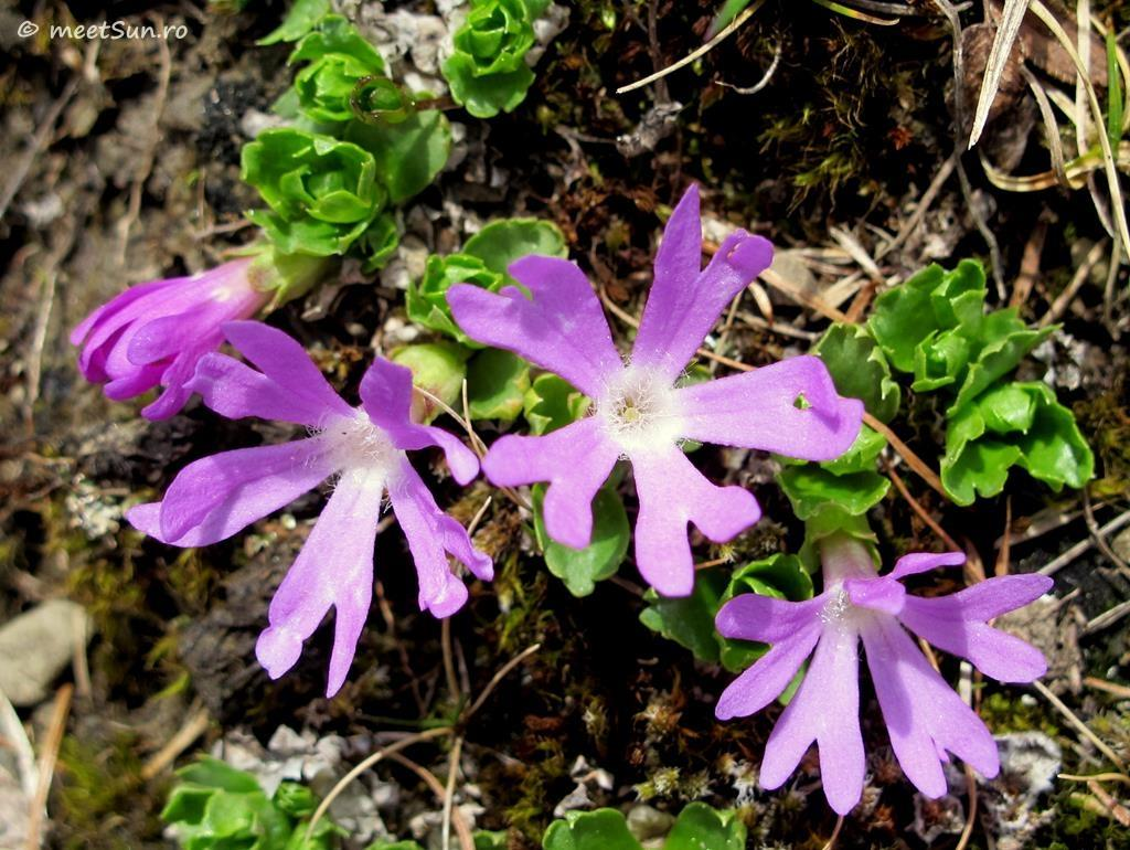 flori-roz-011.1-Primula-minima