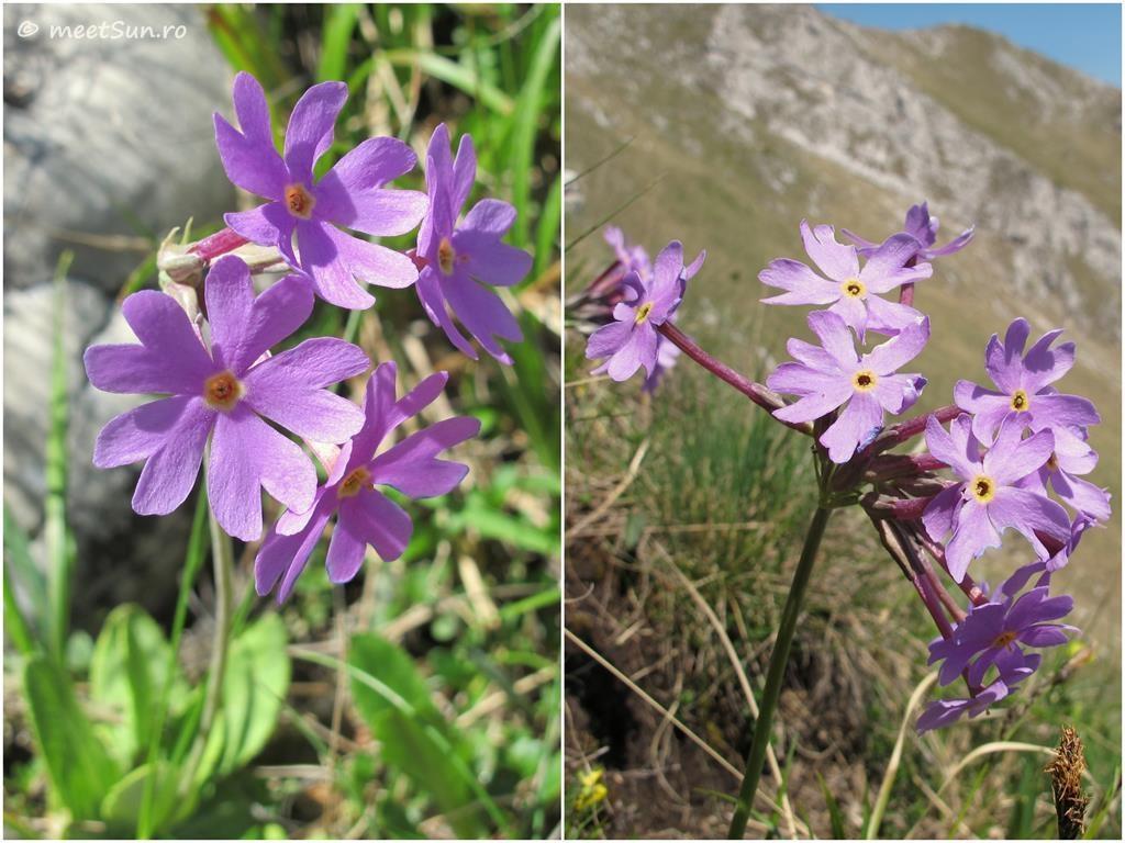 flori-roz-011.2-Primula-halleri