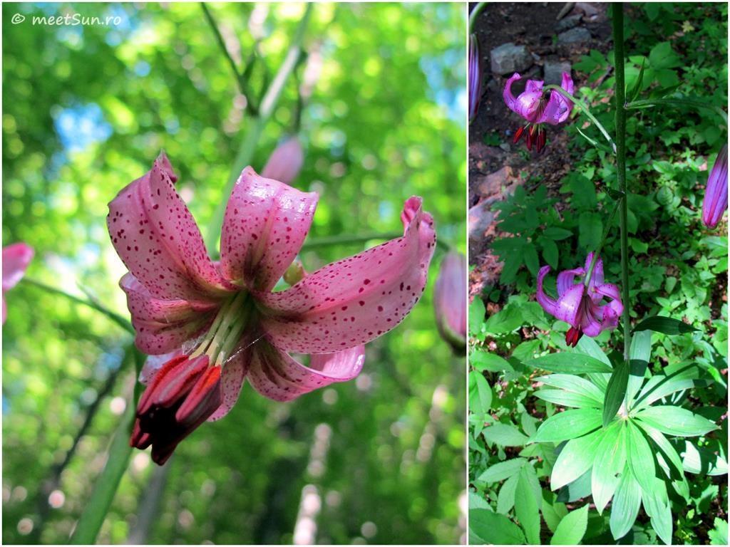 flori-roz-013-Lilium