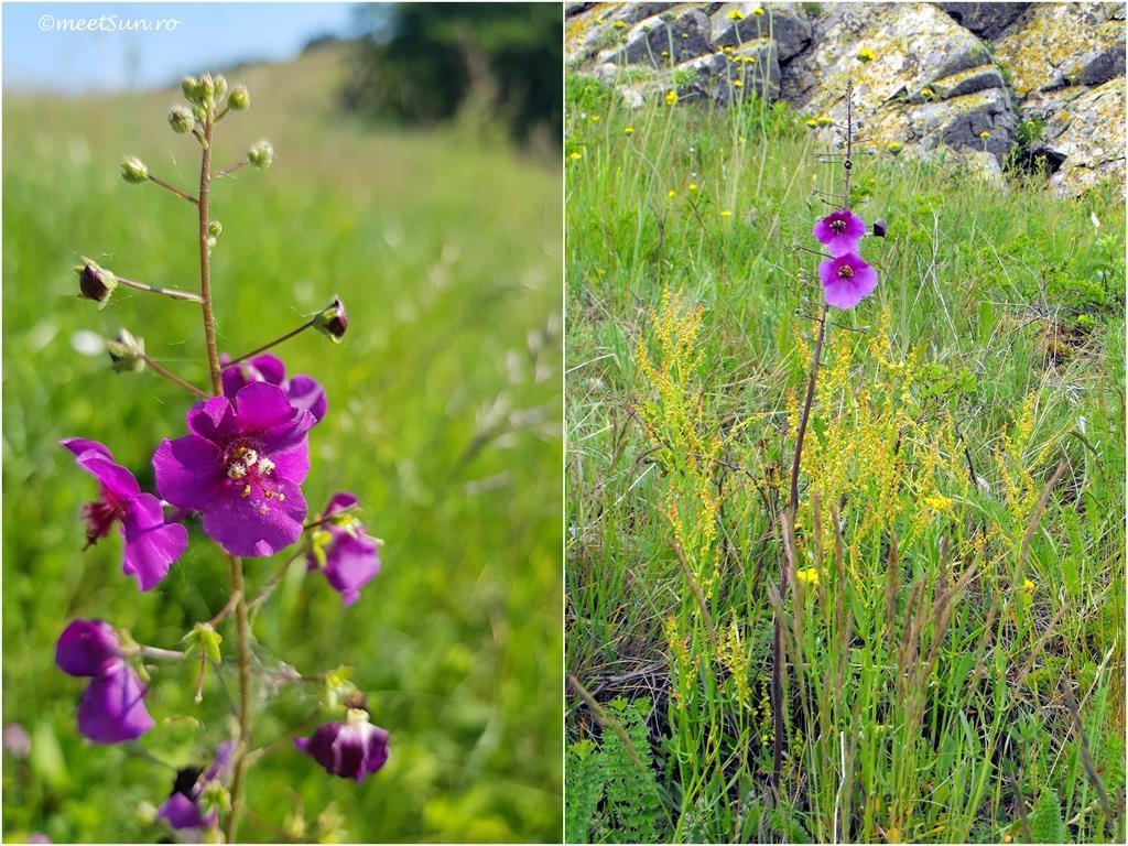 flori-roz-014-Verbascum