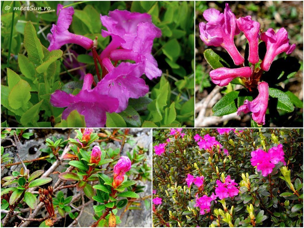 flori-roz-015-Rhododendron