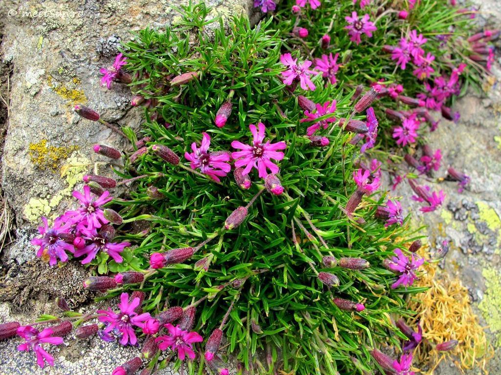 flori-roz-017-Silene-dinarica
