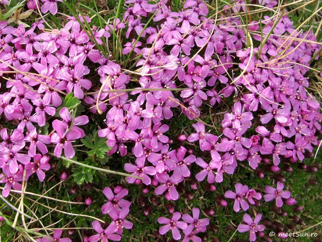 flori-roz-018.1-Silene-acaulis