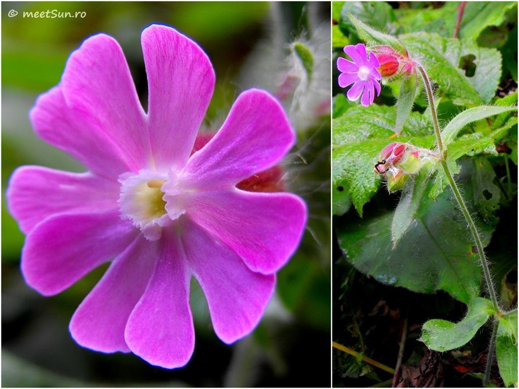 flori-roz-018.2-Silene-dioica