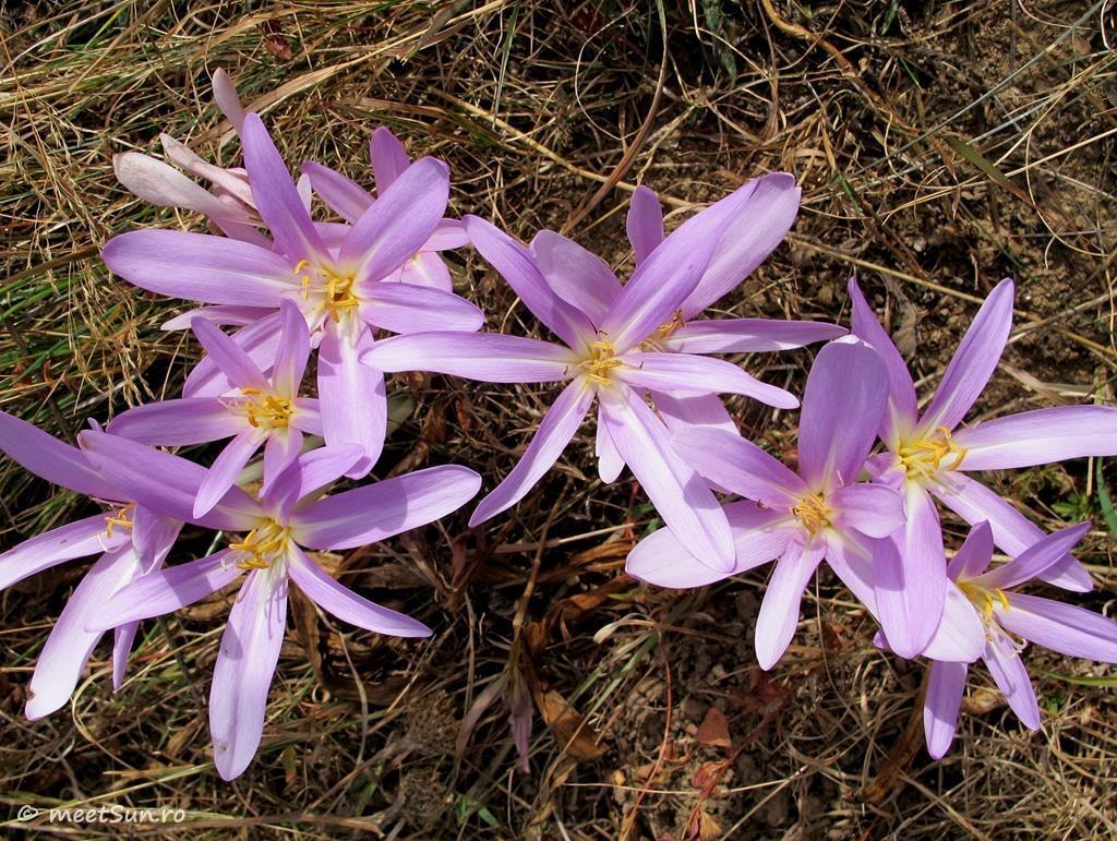 flori-roz-025.2-Colchicum