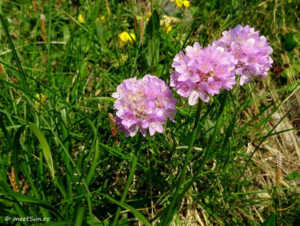flori-roz-031-Armeria-alpina