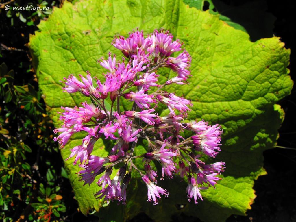 flori-roz-032-Adenostyles