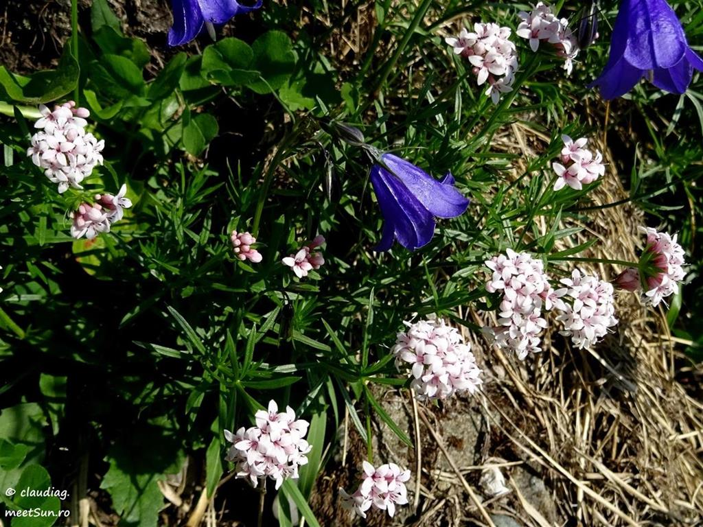flori-roz-034-Asperula-capitata