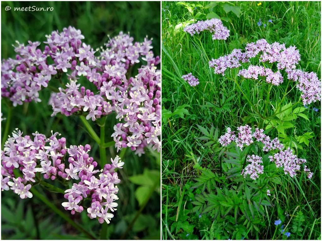 flori-roz-035-Ligusticum