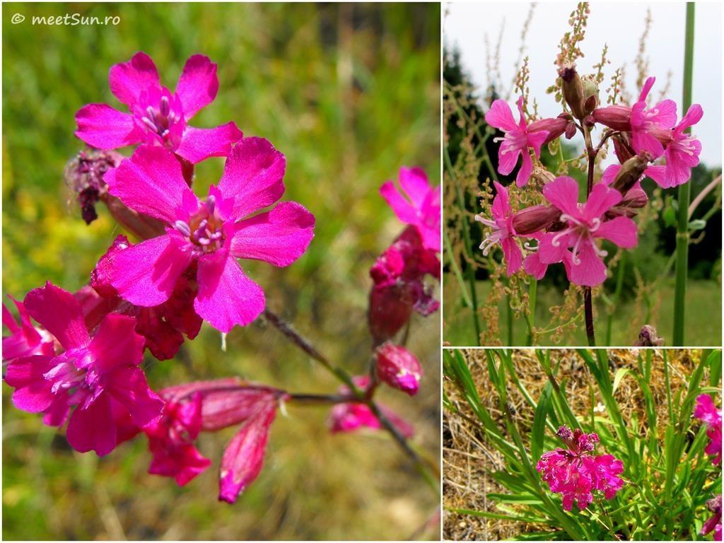 flori-roz-036-Lychnis-viscaria