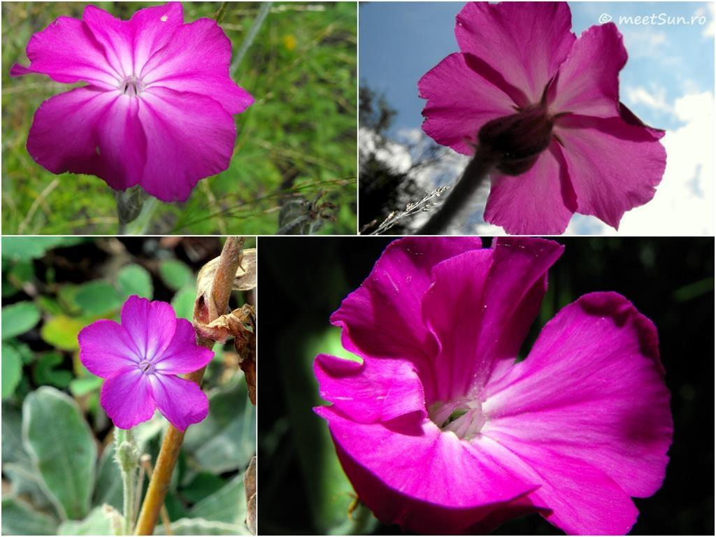 flori-roz-037-Lychnis-coronaria