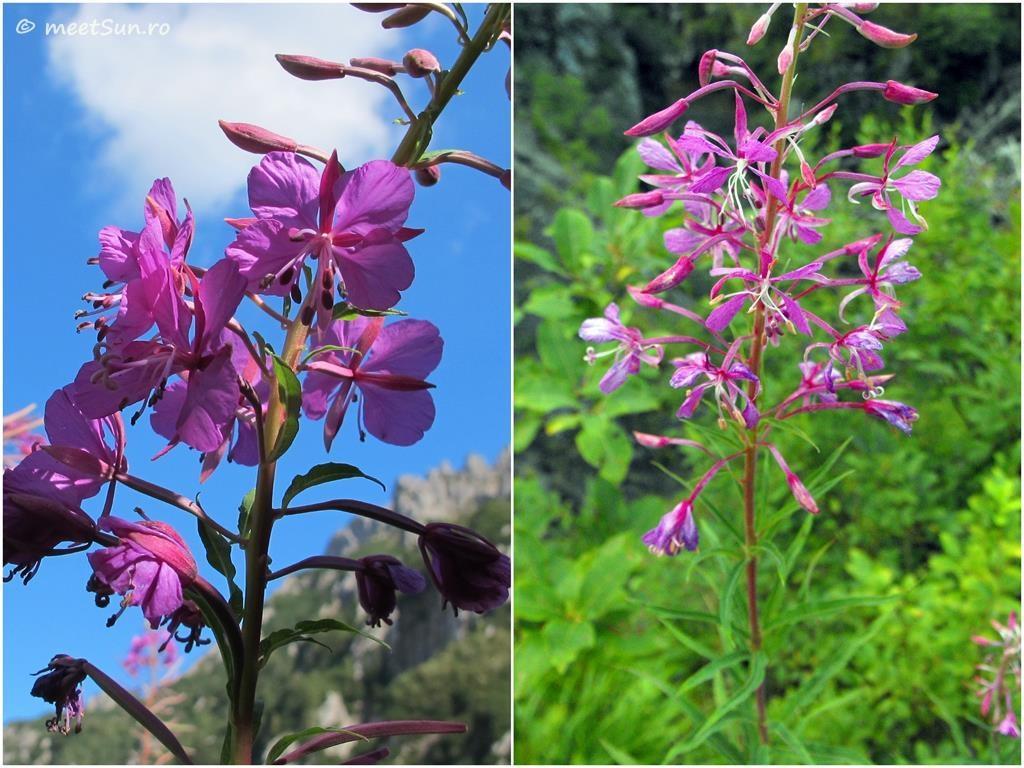 flori-roz-041-Chamerion-angustifolium