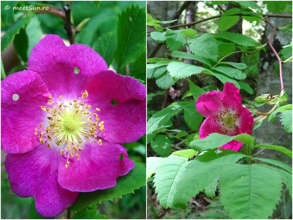 flori-roz-051-Rosa
