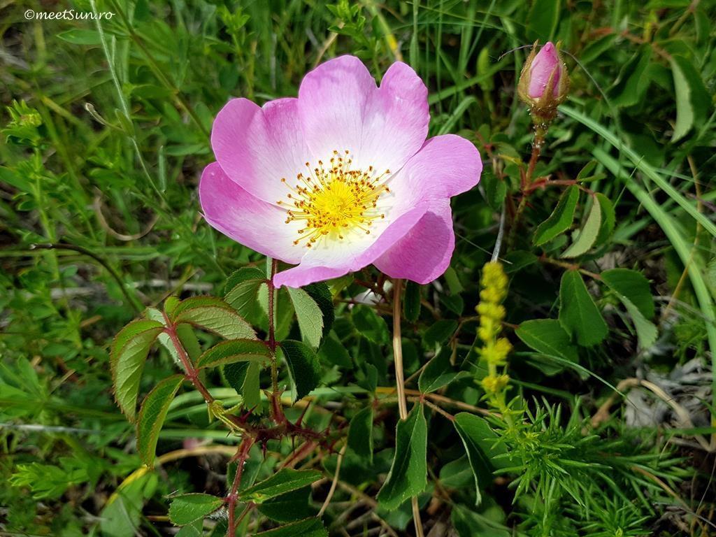 flori-roz-052-Rosa