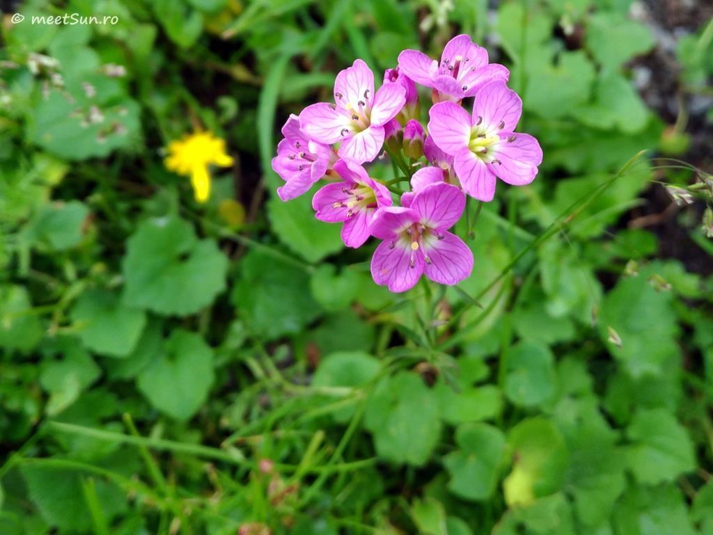 flori-roz-056-Cardamine-pratensis-rivularis