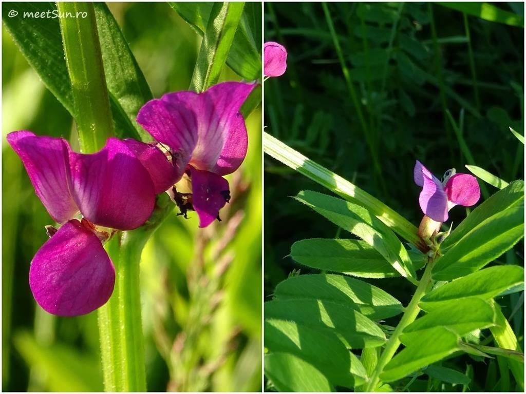 flori-roz-059-Vicia-sativa