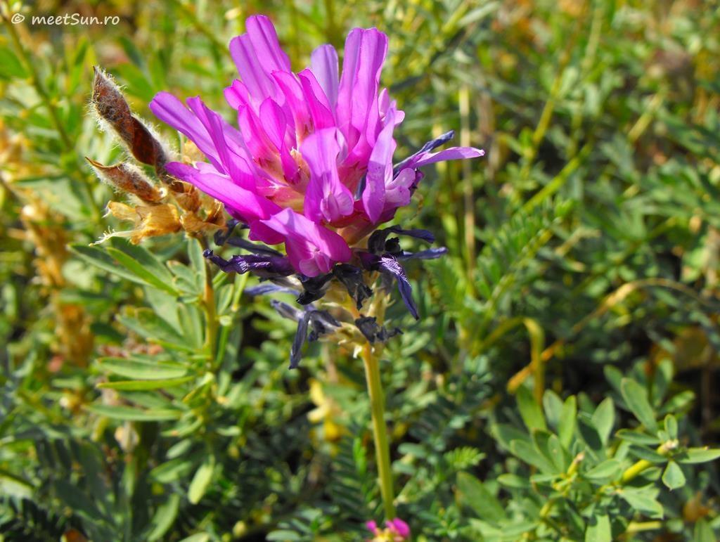 flori-roz-062-Astragalus