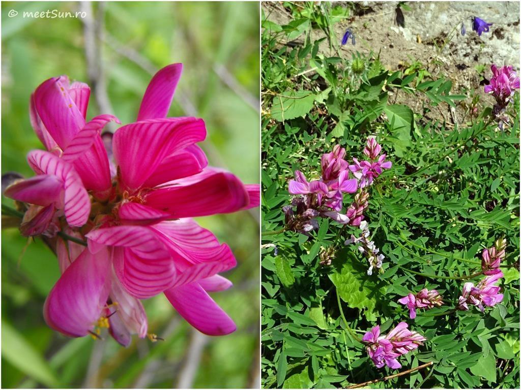 flori-roz-063-Onobrychis