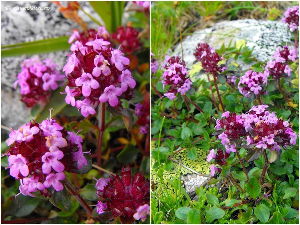 flori-roz-065-Thymus