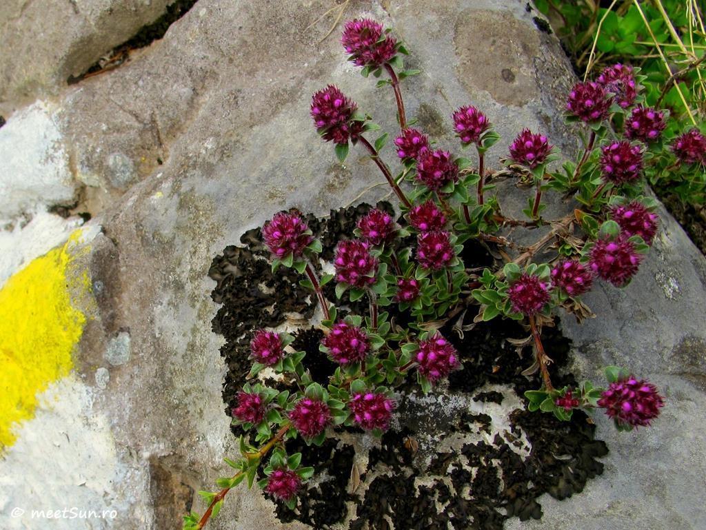 flori-roz-066-Thymus-zygioides