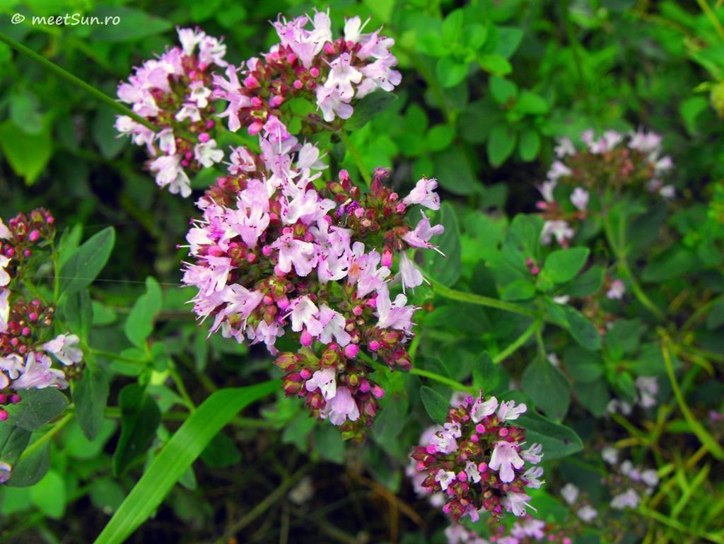 flori-roz-067-Origanum
