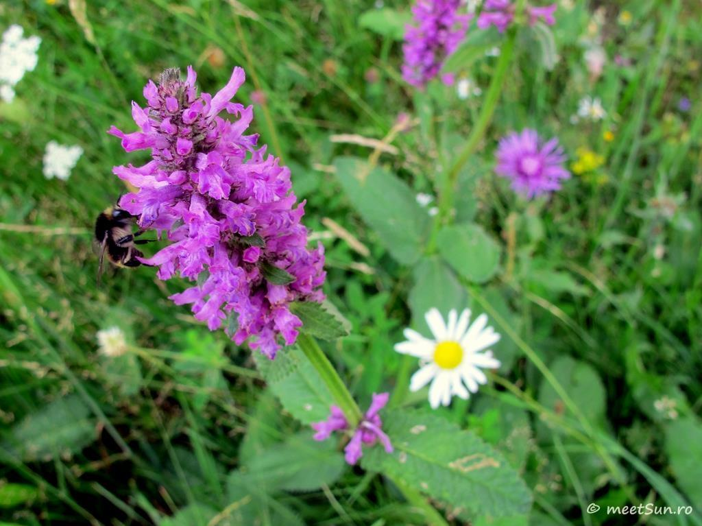 flori-roz-068.1-Stachys-officinalis
