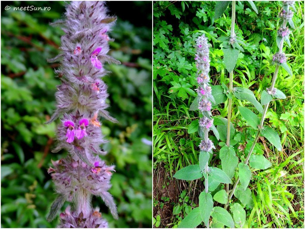 flori-roz-068.2-Stachys-germanica