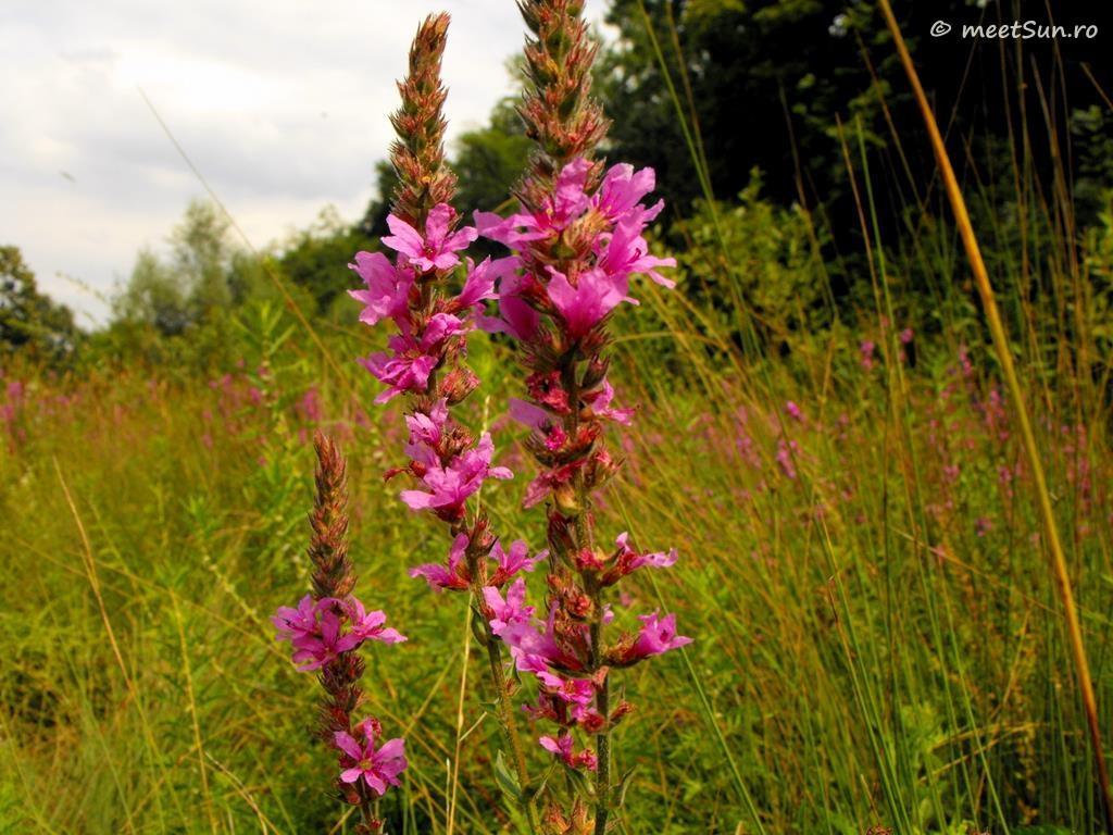 flori-roz-070-Lythrum
