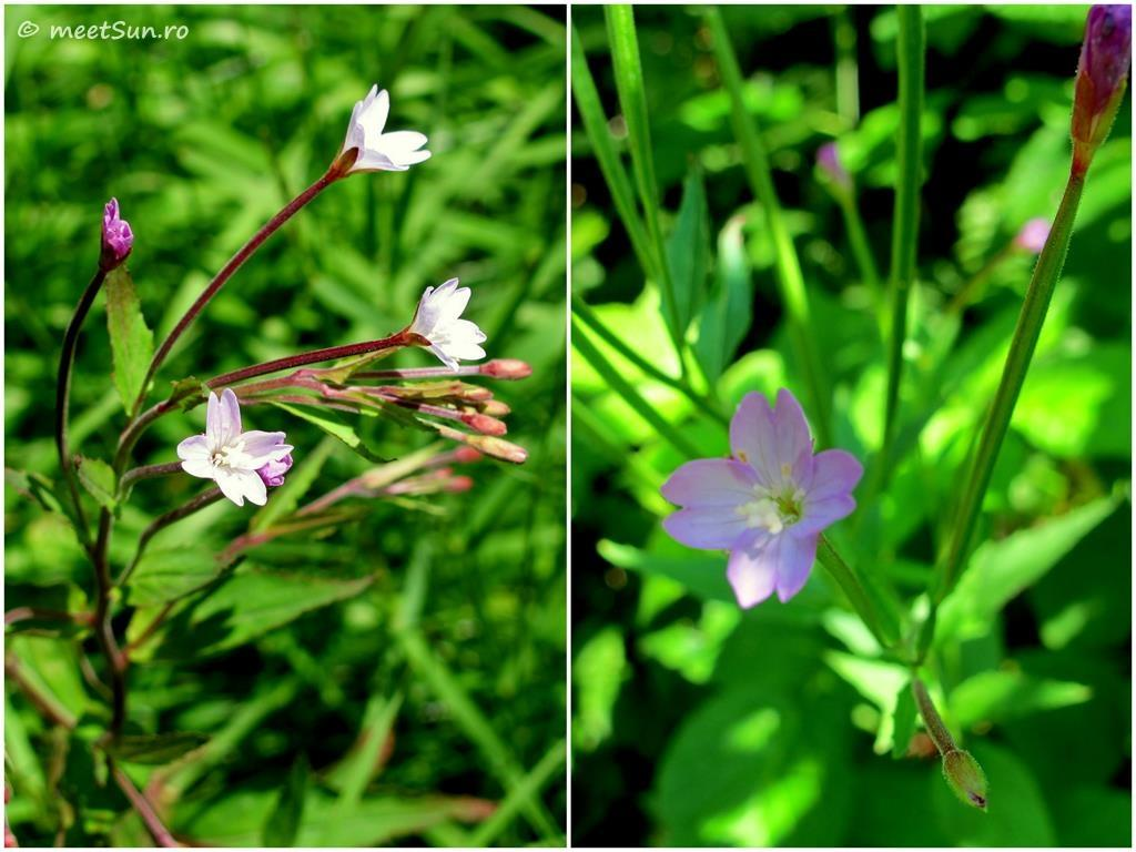 flori-roz-077-Epilobium