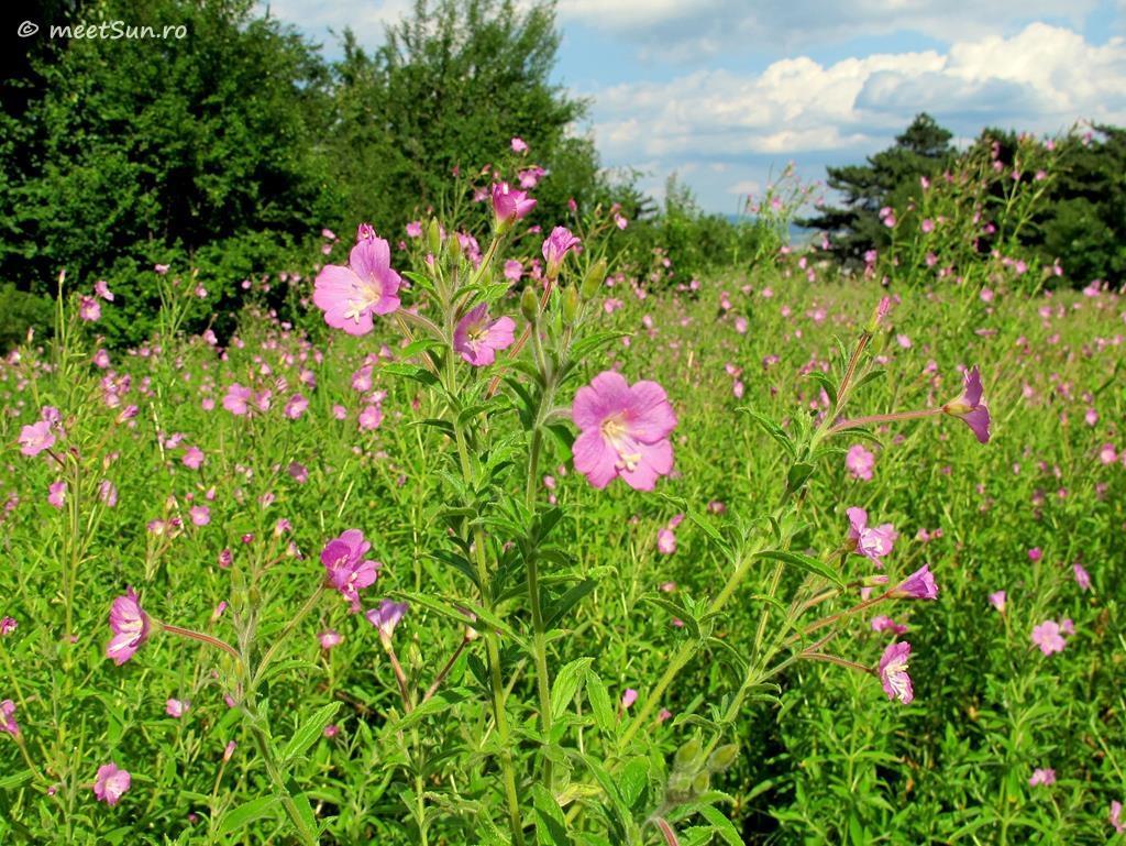 flori-roz-078-Epilobium-hirsutum