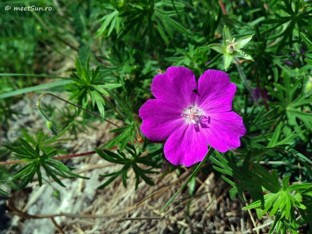 flori-roz-079-Geranium
