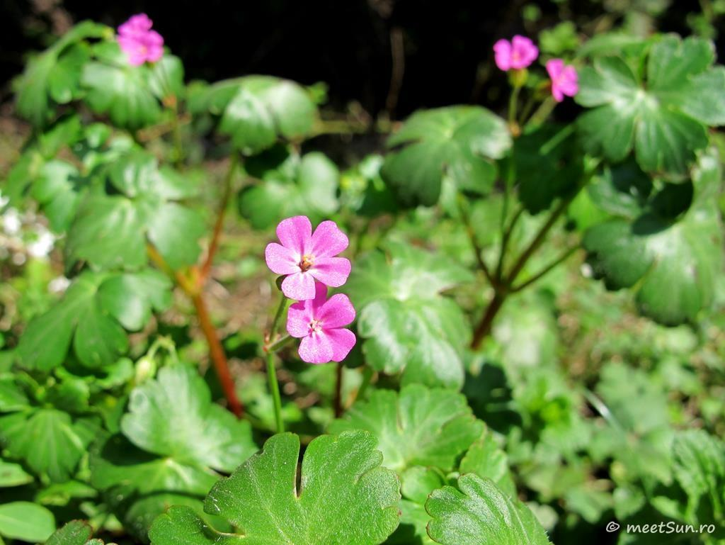 flori-roz-081-Geranium