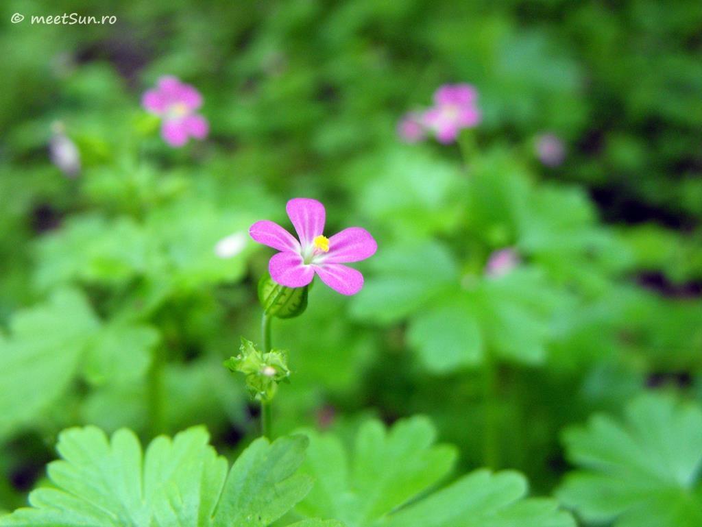 flori-roz-082-Geranium