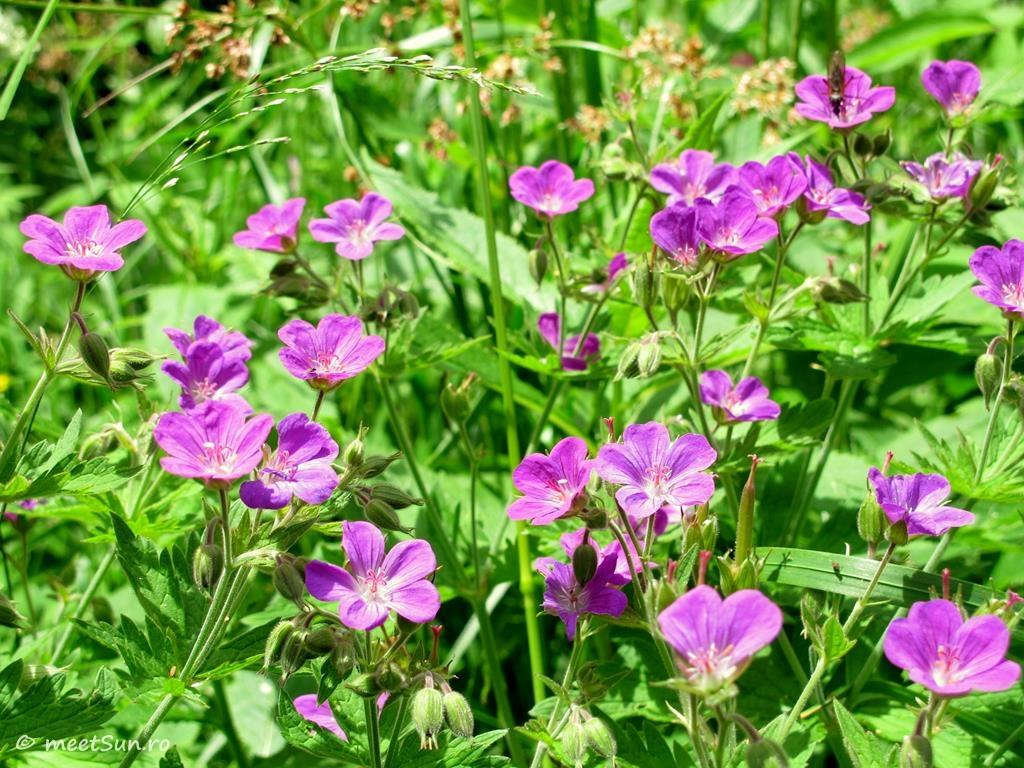flori-roz-083-Geranium