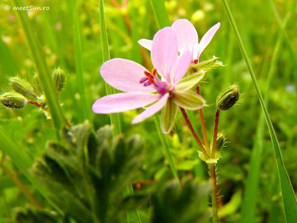 flori-roz-084