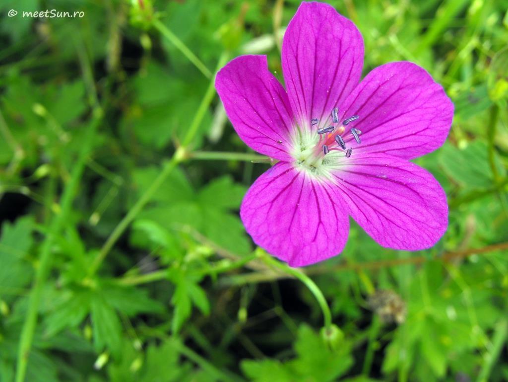 flori-roz-085-Geranium